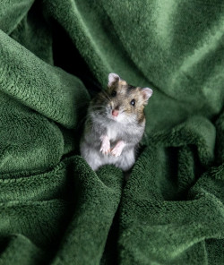 Pet rodent